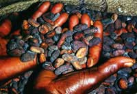 Photo : Feves de cacao apres sechage sur un marche